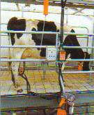 You can treat the cows individually with a tandem